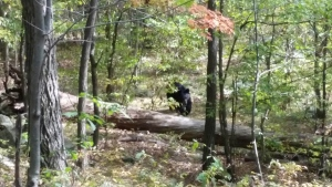 In this Sept. 21, 2014 photo taken by hiker Darsh Patel and provided by the West Milford Police Department, a bear approaches 22-year-old Patel in New Jersey's Apshawa Preserve. Patel was mauled to death by the bear shortly after the photo was taken. (AP / Darsh Patel)