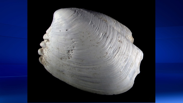 New clam species found off of B.C.'s coast
