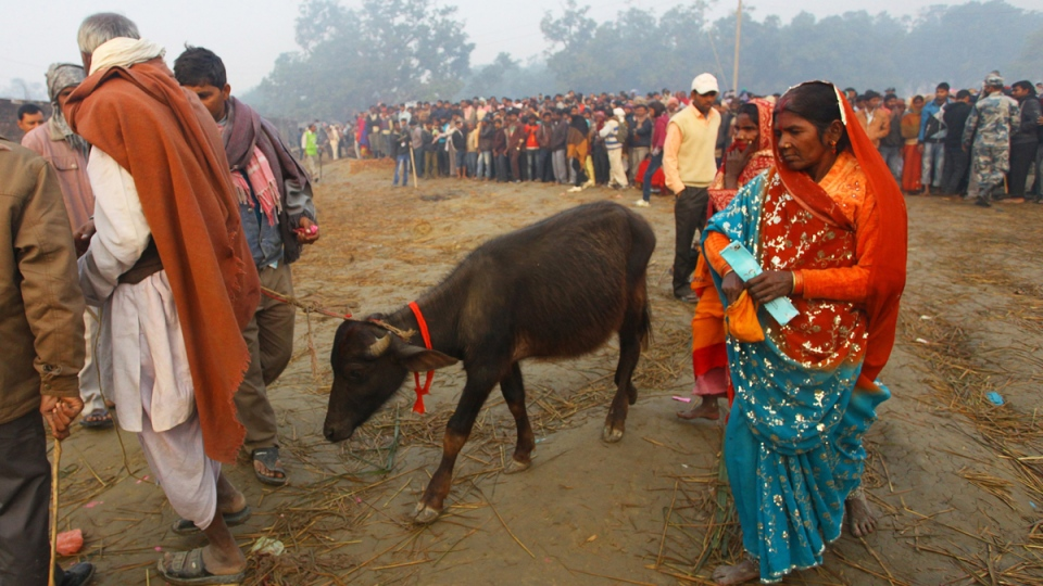 Sacrificial buffalo at a mass sacrifice ceremony at Gadhimai temple, Nepal, on Nov. 28, 2014. (AP / Sunil Sharma)