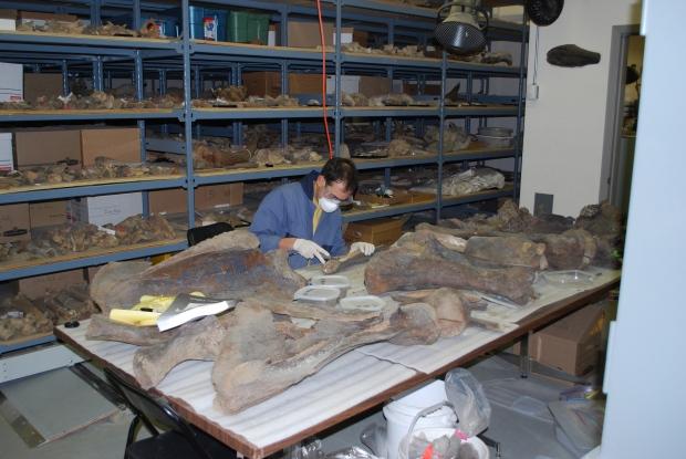 Mastodon bones older than thought