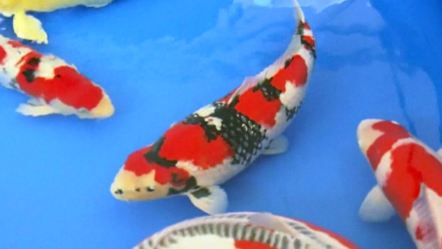 Decorative koi fish sold for $20K at auction
