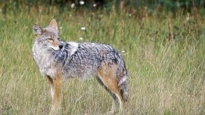 A coyote stands in a field, Feb. 10, 2013. (AP / Daily Inter Lake, Karen Nichols, File)