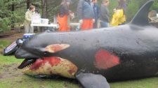 The battered body of a three-year-old female killer whale washed up on Long Beach Wash. in February. Experts are now trying to determine if sonar testing by a Canadian Naval ship may have contributed to the death of the endangered species.