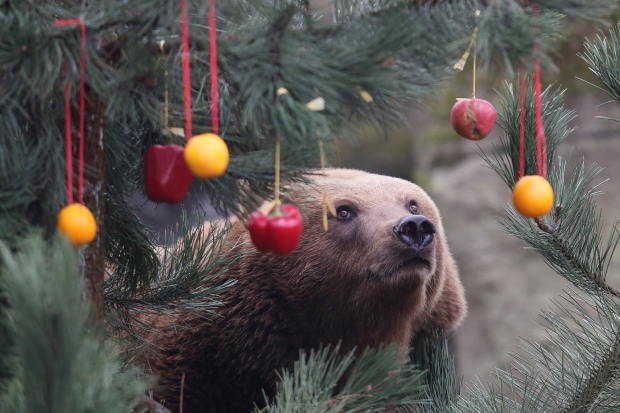 A Kamchatka brown bear looks at a Christmas tree decorated with fruit and vegetables in the enclosure at the Hagenbeck zoo in Hamburg, northern Germany, Friday, Dec. 5, 2014. (AP / dpa, Malte Christians)