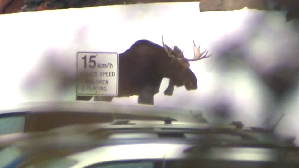 Moose Killed In Calgary The Tranquilizer Didn T Take
