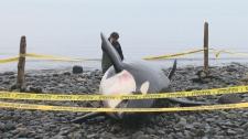 rhapsody dead killer whale
