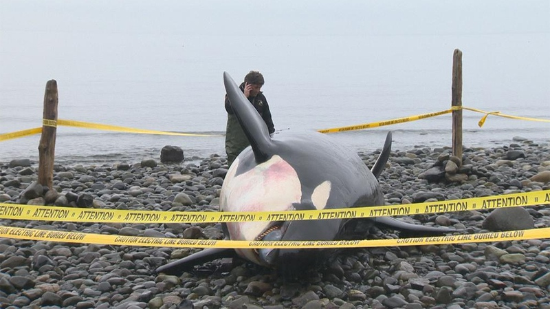 A young female killer whale was found dead off the shores of Vancouver Island on Dec. 4, 2014. (Gord Kurbis / CTV News)