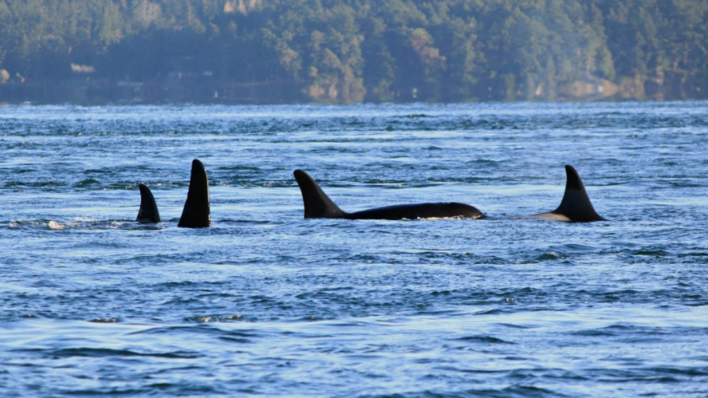Puget Sound orcas in Spieden Channel