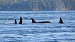 Puget Sound orcas in Spieden Channel, north of San Juan Island, in November 2014. (File photo)
