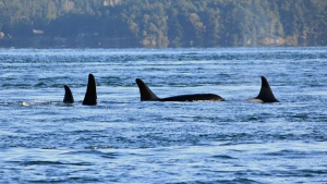 Puget Sound orcas in Spieden Channel, north of San Juan Island, in November 2014. (File photo)