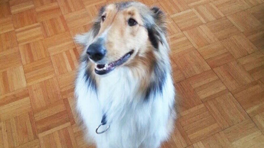 Purebred collie Nell had been missing since Tuesday night of last week. (file image)