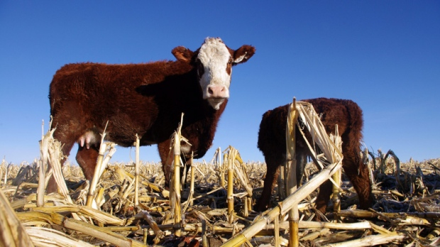 In this March 4, 2011, file photo cattle graze in a corn field on the farm of Dean Dimond near Jerome, Idaho. (AP Photo/Mitchell Schmidt, File)
