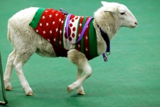 Sheep wearing a sweater