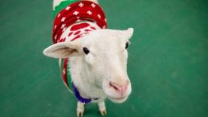 A sheep wearing a Christmas sweater