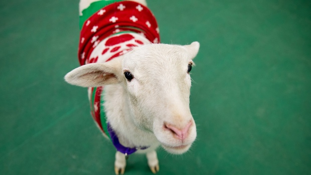 A sheep wearing a Christmas sweater