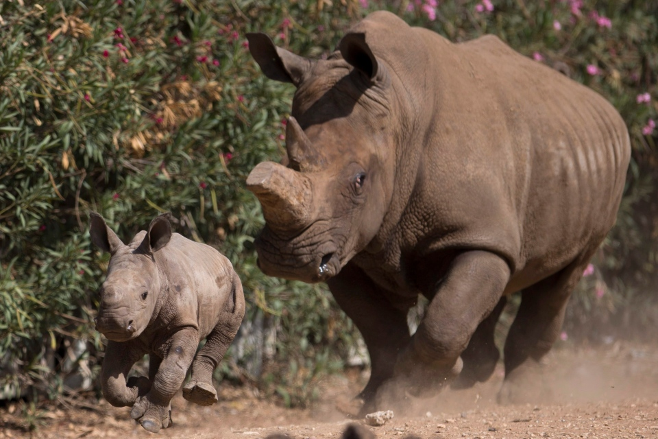 In this file photo, a newly born female White Rhino runs alongside her mother Tanda in Ramat Gan Safari Park near Tel Aviv, Israel, Wednesday, Sept. 3, 2014. (AP Photo/Ariel Schalit)
