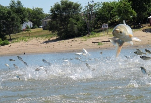 In this June 13, 2012, photo an Asian carp, jolted by an electric current from a research boat, jumps from the Illinois River near Havana, Ill., during a study on the fish's population on Aug. 28, 2014. (John Flesher / AP Photo)