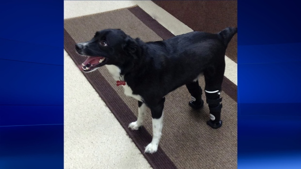 Hector gets prosthetic paws
