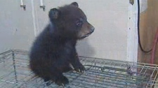 The bear cub Makoon was rescued after being found near death in a ditch in March, close to St. Malo, Man.
