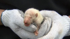 Wildlife removal experts were shocked to discover a rare albino raccoon pup on Tuesday, April 17, 2012.