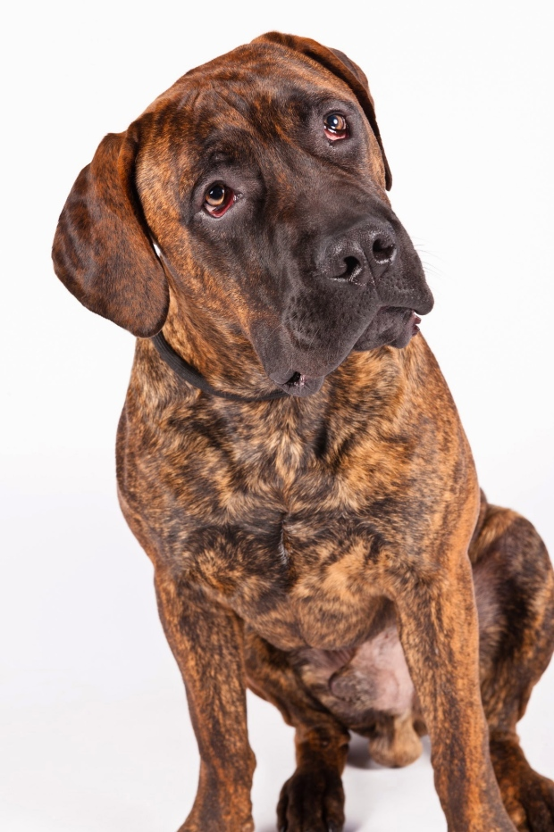 African Large Breed Dogs