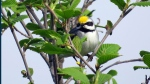 A golden-winged warbler  (Henry Streby and Gunnar Kramer)