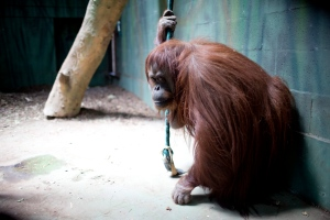 The orangutan named Sandra sits in her enclosure at Buenos Aires' Zoo in Buenos Aires, Argentina, Monday, Dec. 22, 2014. An Argentine court has ruled that Sandra, who has spent 20 years at the zoo, should be recognized as a person with a right to freedom. (AP Photo/Natacha Pisarenko)