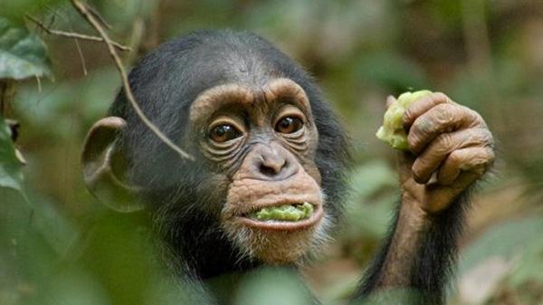 'Chimpanzee' from DisneyNature.