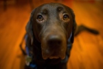 Pepe, a female chocolate Labrador retriever, who is a service dog for 13-year-old Maya Kaler, who has autism, sits for a photograph at the Kaler home in Surrey, B.C., on Saturday December 20, 2014. (Darryl Dyck / The Canadian Press)