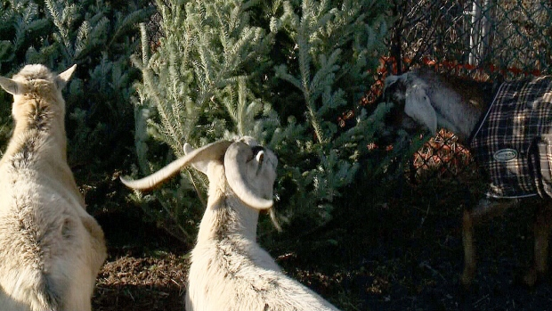 Ottawa Goats Want Your Used Christmas Trees