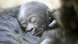 A days-old baby gorilla at the San Diego Zoo (file)