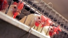 In this file photo, chickens huddle in their cages at an egg processing plant at on Sept. 10, 2008. (AP / Marcio Jose Sanchez)