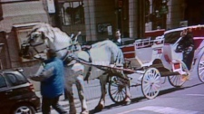 This horse tore off through Old Montreal shortly after this moment, when the driver adjusted the animal's blinders.