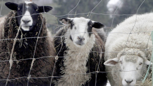A trio of sheep peer through a fence in a pasture on Monday, Jan. 23, 2012 in Montpelier, Vt.