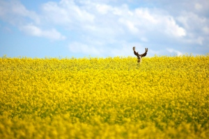 A stag stands in a neck high field of canola north of Cremona, Alta., on July 31, 2011. (Jeff McIntosh / THE CANADIAN PRESS)