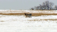 An annual coyote hunt near Alberta Beach