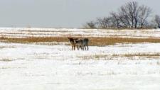 An annual coyote hunt near Alberta Beach