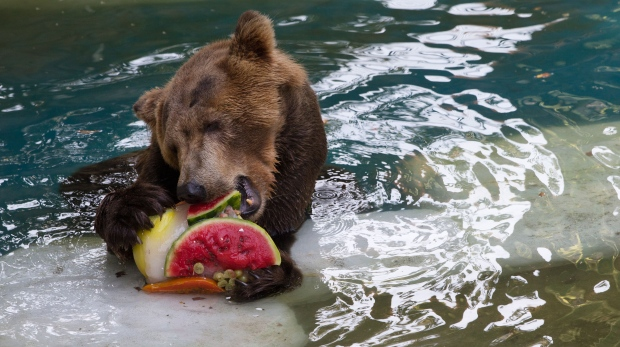 While Canadians brave cold temperatures across the country, zoo animals in Brazil were given frozen snacks made from tropical fruits, chunks of meat and frozen yogurt to help ease the intense summer heat. <br><br>A bear named Ze Colmeia eats frozen fruit at the city zoo in Rio Janeiro, Brazil, Tuesday, Jan. 13, 2015. (AP / Silvia Izquierdo)