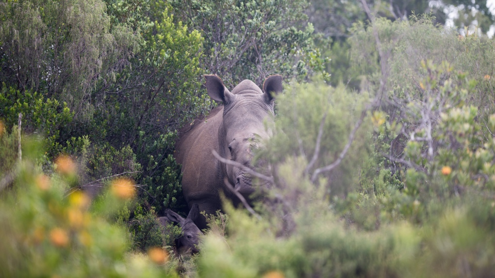 Rhino gives birth in S. Africa