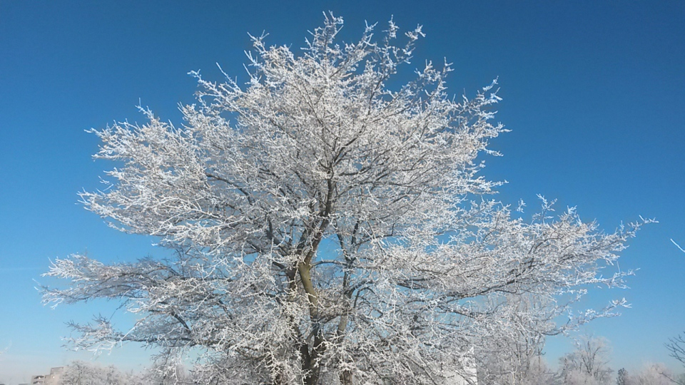 Hoar frost covers a tree in Kitchener on Wednesday, Jan. 14, 2015. (Jeff Bottomley / CTV Kitchener)