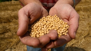 In this July 5, 2008 file photo, a farmer holds Monsanto Soy Bean seeds at his family farm in Bunceton, Mo.on Oct. 8, 2014. (Dan Gill, File / AP Photo)