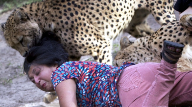 In this photo taken Saturday, April 28, 2012, Violet D'Mello of Aberdeen, Scotland is attacked by cheetahs while being photographed by her husband Archibald, during a visit to Kragga Kamma game reserve near Port Elizabeth, South Africa during a visit to the country. The couple visited the enclosure in which the hand-reared cheetah brothers, Mark and Monty, were kept when the attack took place. (AP Photo/Archibald D'Mello)