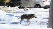 CTV London: Coyote on the loose put down