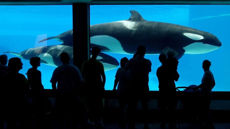 Tourists line up at a viewing area to see one of Marineland's newer attractions, a killer whale calf swimming with its mother in Niagara Falls, Ont. on Wednesday, July 18, 2001. (Scott Dunlop / THE CANADIAN PRESS)