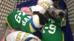 Shelter puppies used for Uber's Puppy Bowl promotion are shown in Dallas on Wednesday, Jan. 28, 2015. (Twitter / City of Dallas)