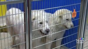 CTV Calgary: Alberta SPCA seize 200 dogs from home