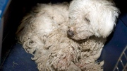 A neglected dog is shown in an Alberta SPCA handout photo.The Alberta Animal Rescue Crew Society has seized 200 dogs in what it is calling one of the worst cases of neglect it has ever seen. (HO / SPCA)