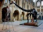 In this Wednesday, May 11, 2005 file photo, one of Britain's Natural History Museum's conservators, Lorraine Cornish, cleans the 26 metre-long skeleton of a Diplodocus, to coincide with celebrations to mark the 100 years the skelton has been kept at the London museum. (AP / Matt Dunham)