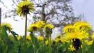 dandelions, weeds