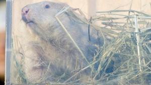 Groundhog Wiarton Willie